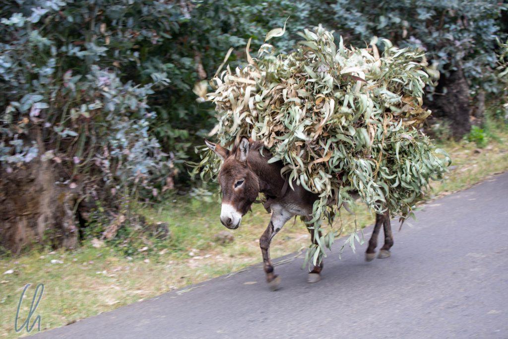 Ein mit Eukalyptus beladener Esel
