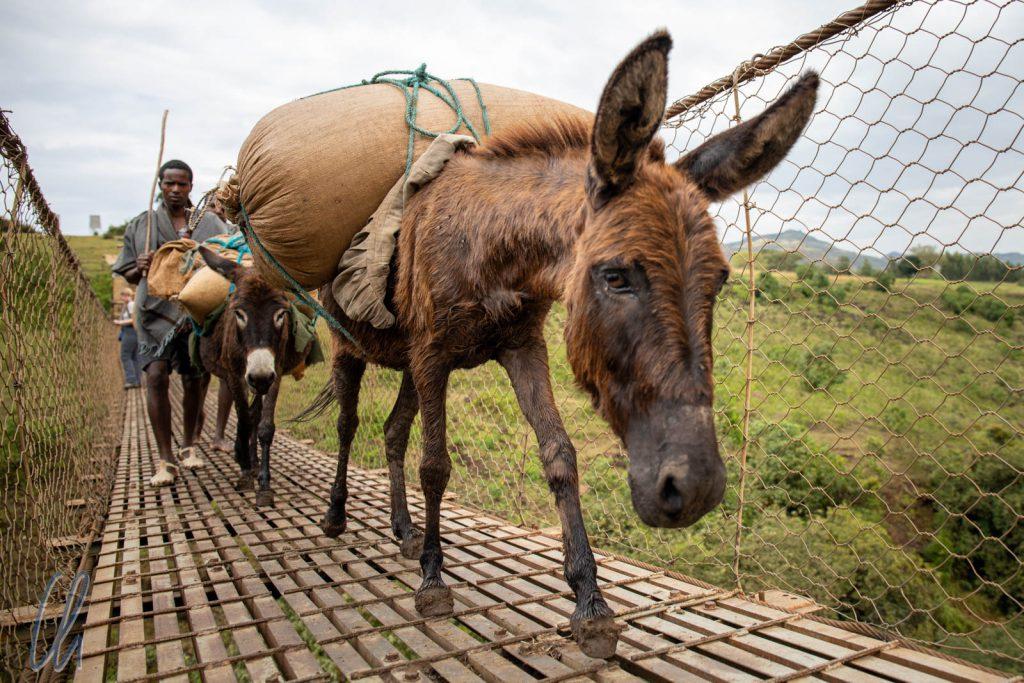 Auch auf der Hängebrücke herrschte ein reger Eselsverkehr.