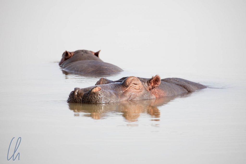 Nilpferde im Tanasee