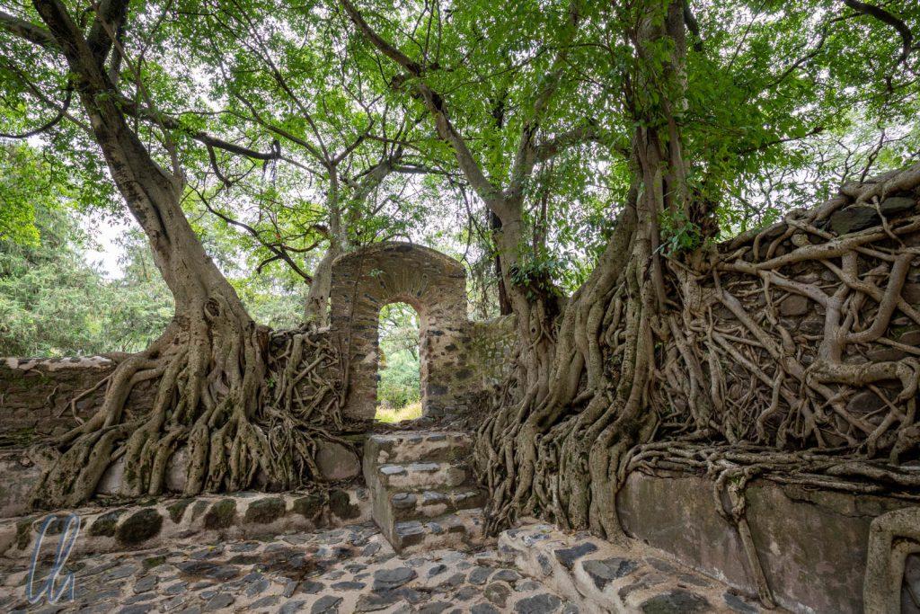 Der Anblick erinnerte uns an den Tempel Ta Prohm in Angkor. Auch bei Fasilides Wasserschloss hatten Würgefeigen die Mauern überwuchert.