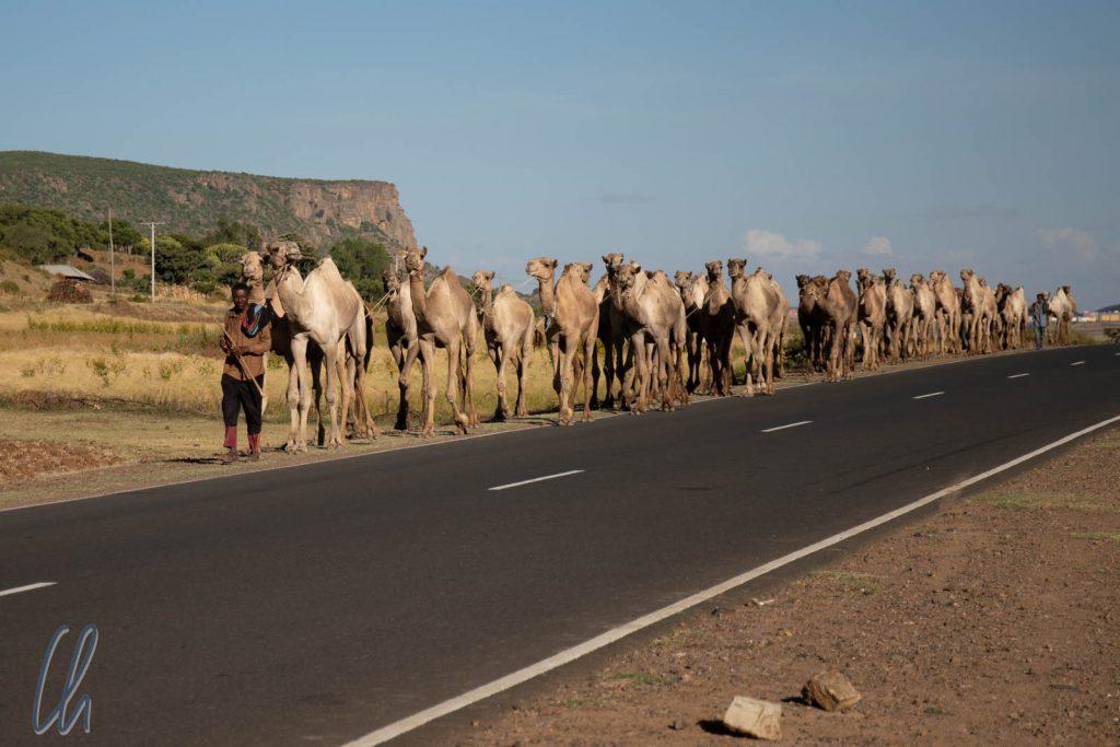 Eine Kamelkarawane auf dem Weg nach Eritrea