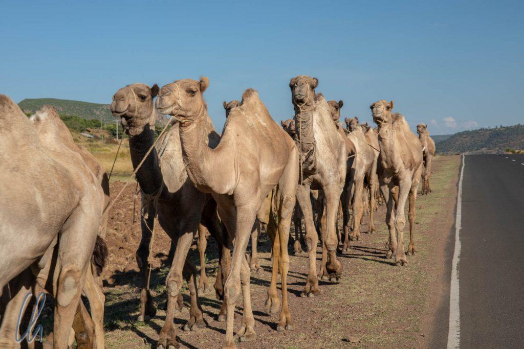In wiegendem Schritt marschierten die Kamele am Straßenrand.