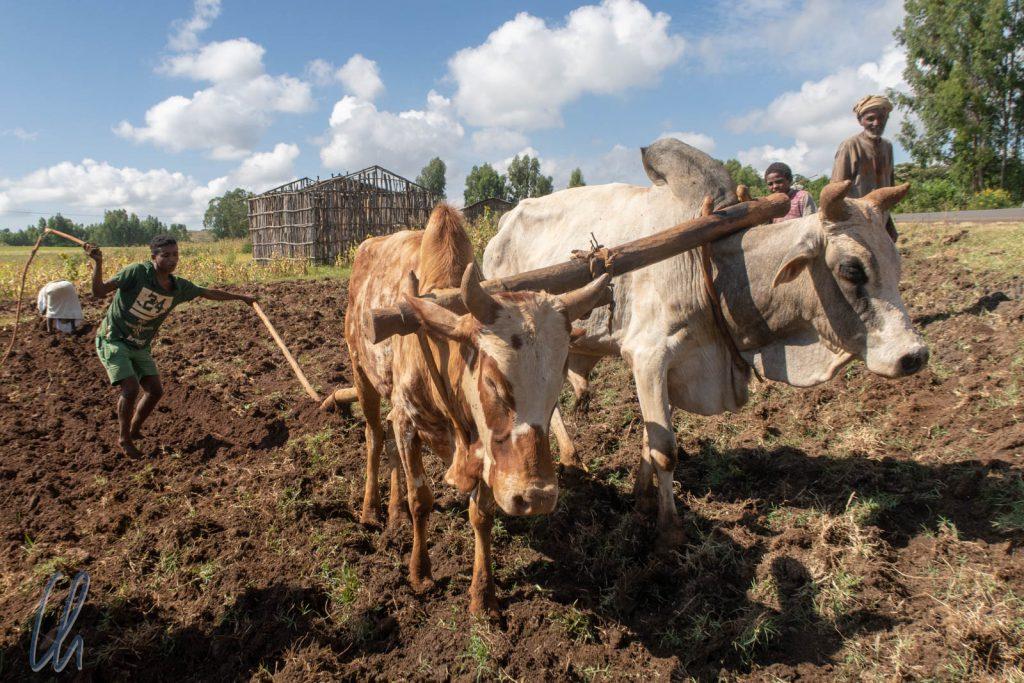 Für uns ein archaischer Anblick, aber in Äthiopien Alltag. Ein junger Mann pflügte ein Feld mit einem Ochsengespann.