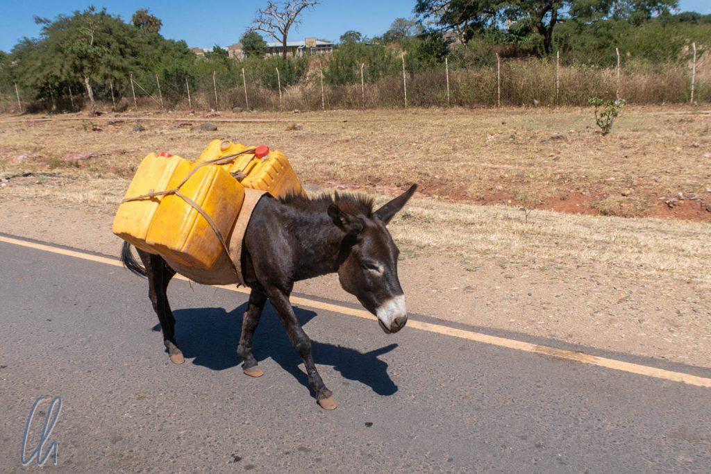 Dieser Esel marschierte unbeirrt auf der falschen Straßenseite.