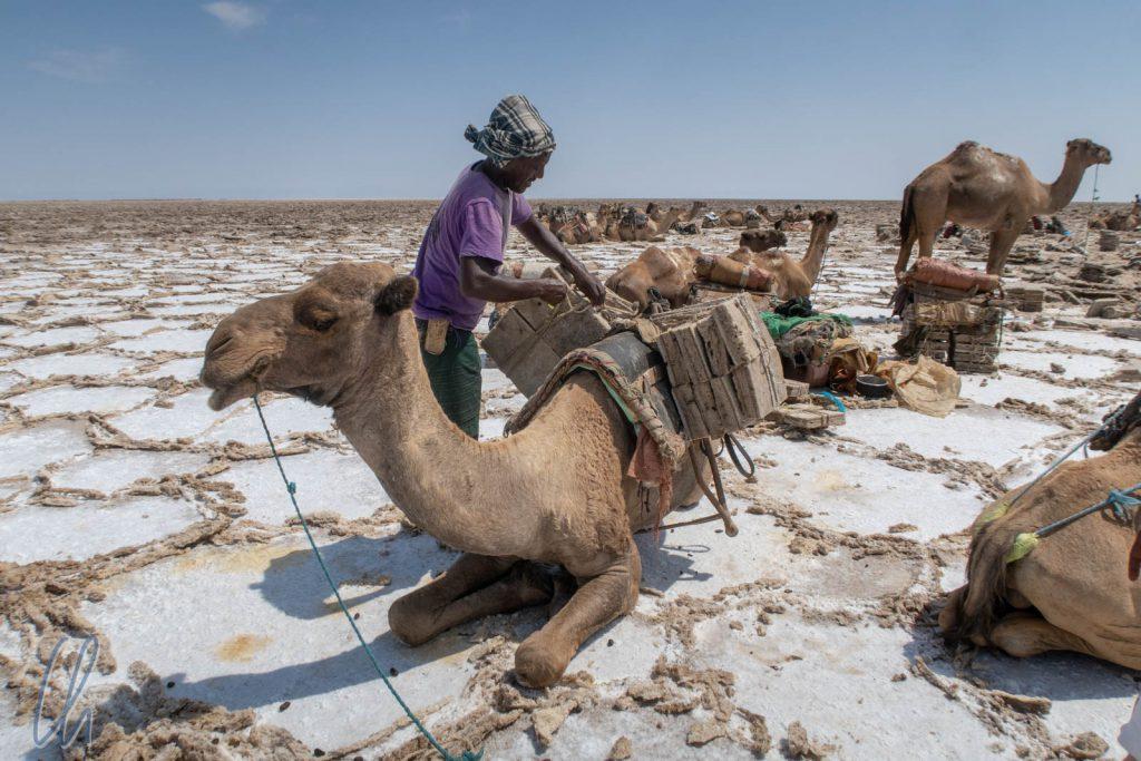 Die Kamele bringen die Salzblöcke auf den 70 Kilometer entfernten Markt.