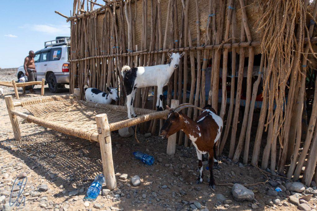 Die Ziegen knabberten sogar an der Hütte.