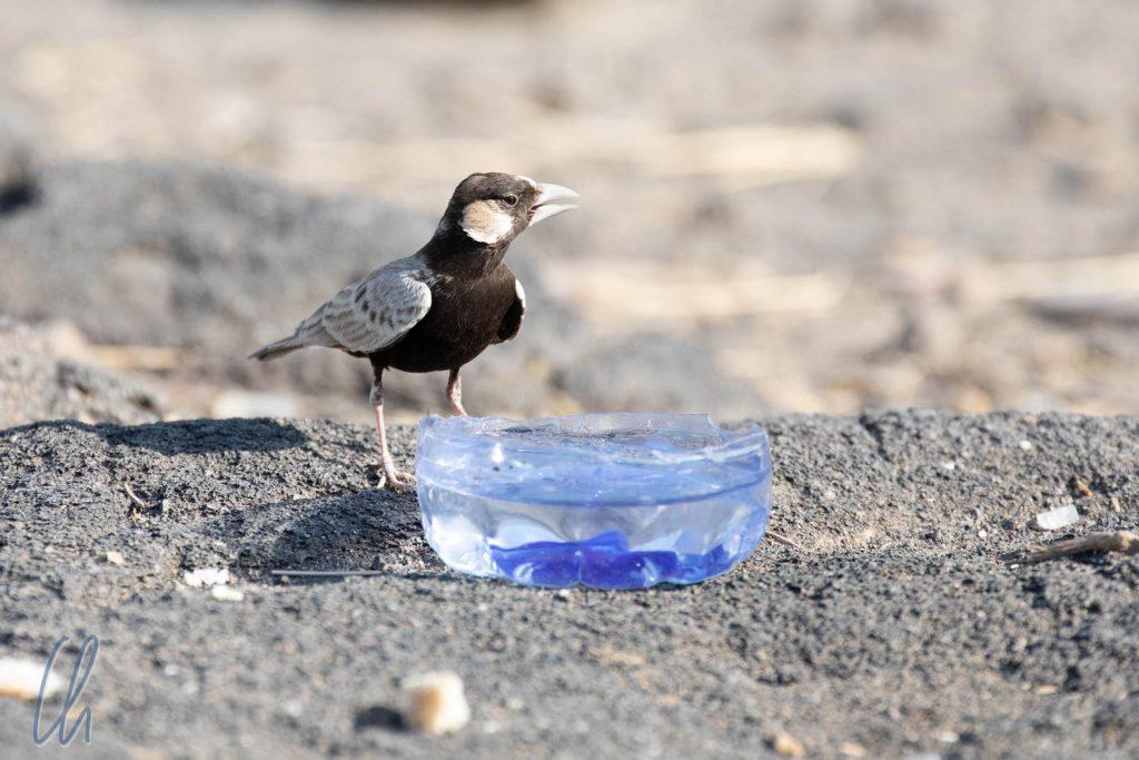 Ein durstiges Vögelchen auf dem Parkplatz am Fuße des Erta Ale