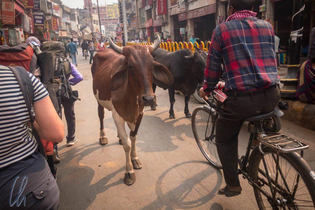 Eine Heilige Kuh spazierte durch Varanasi.