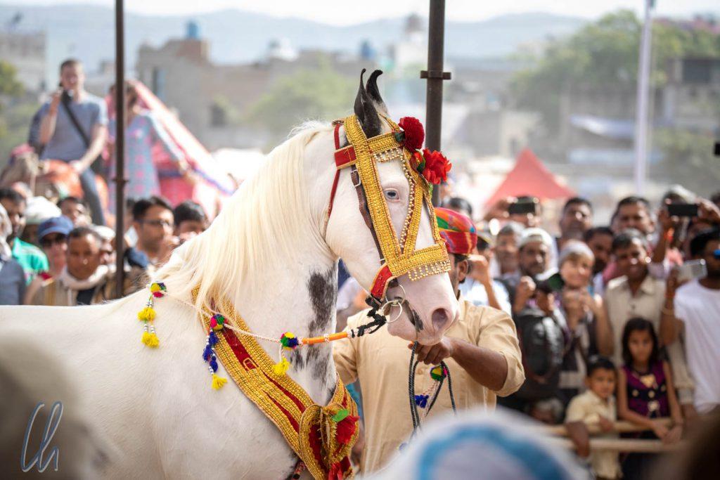 Ein geschmücktes Marwari-Pferd betrat die Arena.