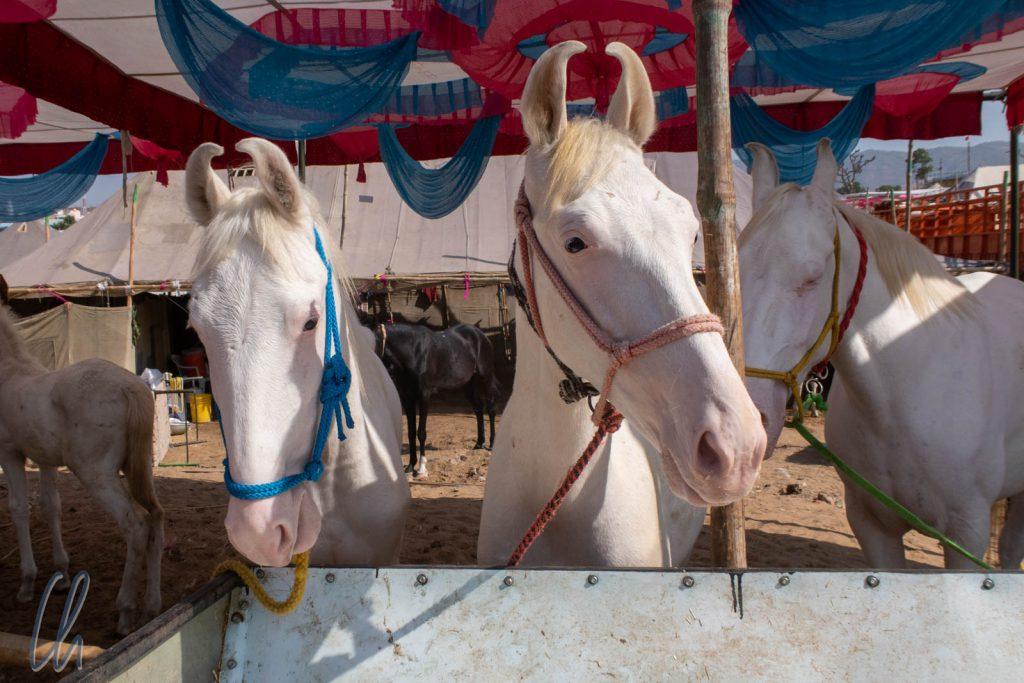 Hübsche weiße Marwari-Pferde