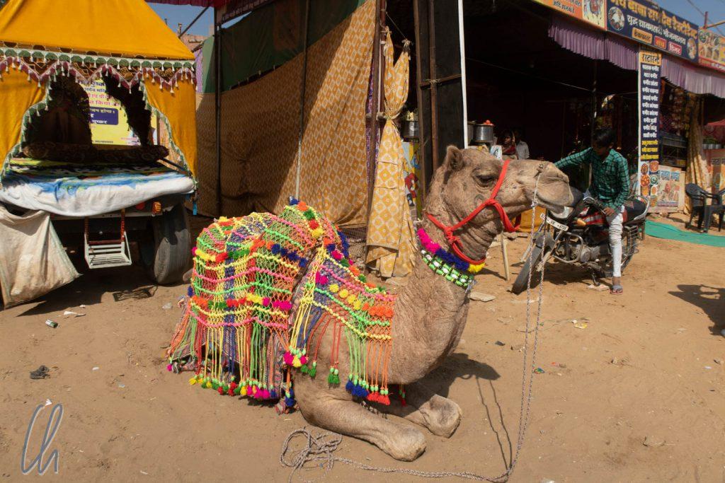 Ein hochdekoriertes Kamel