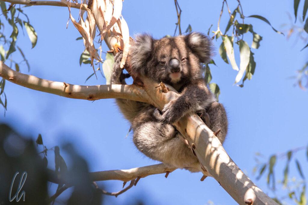 Diesen Koala beobachteten wir auf Kangaroo Island, Australien. Hoffentlich erfreut er sich auch nach den Buschbränden noch bester Gesundheit.