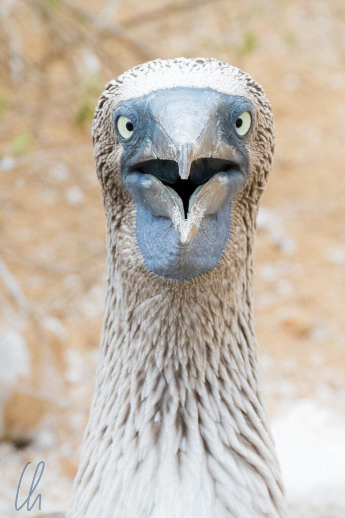 Selbst auf Galápagos ist die Welt nicht mehr in Ordnung, wie dieser Blaufußtölpel erschrocken feststellen muss…