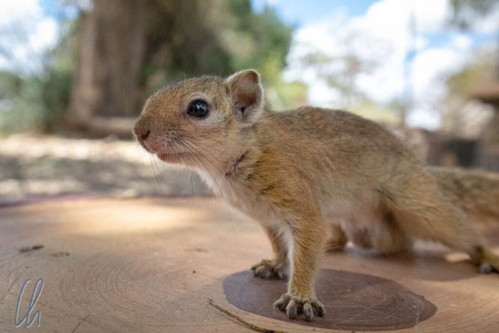 Dieses neugierige Hörnchen hätte gerne an unserem Lunchpaket geknabbert. Ruaha Nationalpark, Tansania