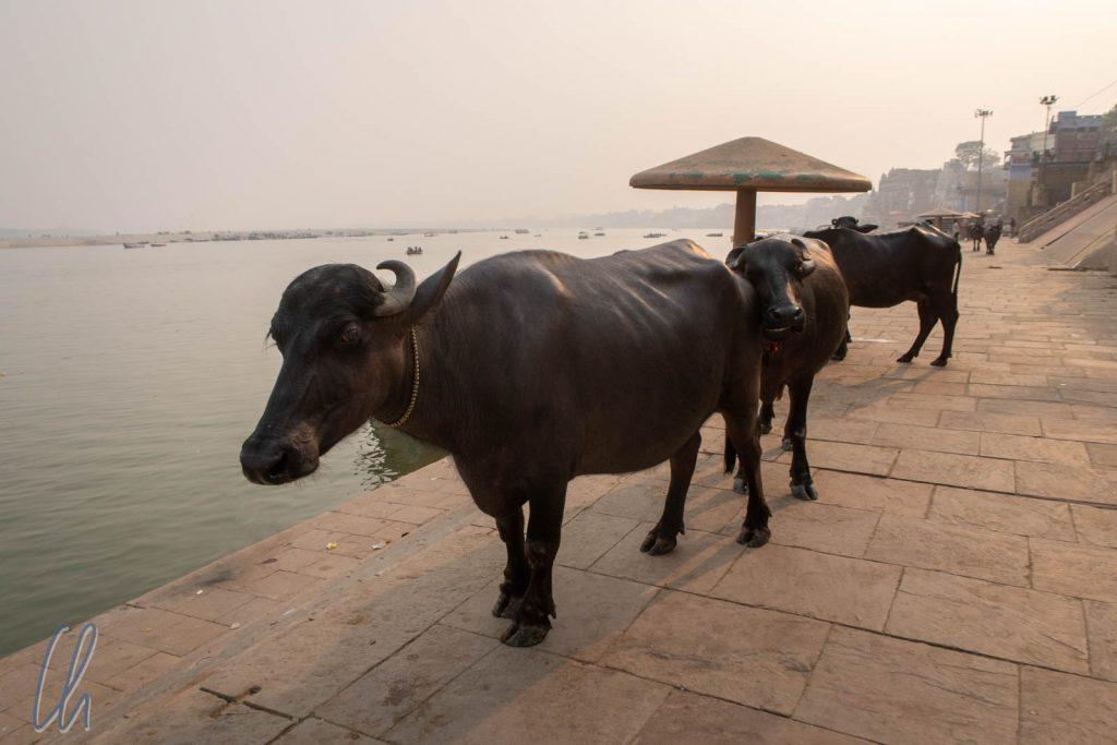 Wasserbüffel in Varanasi, dies sind keine heiligen Kühe.