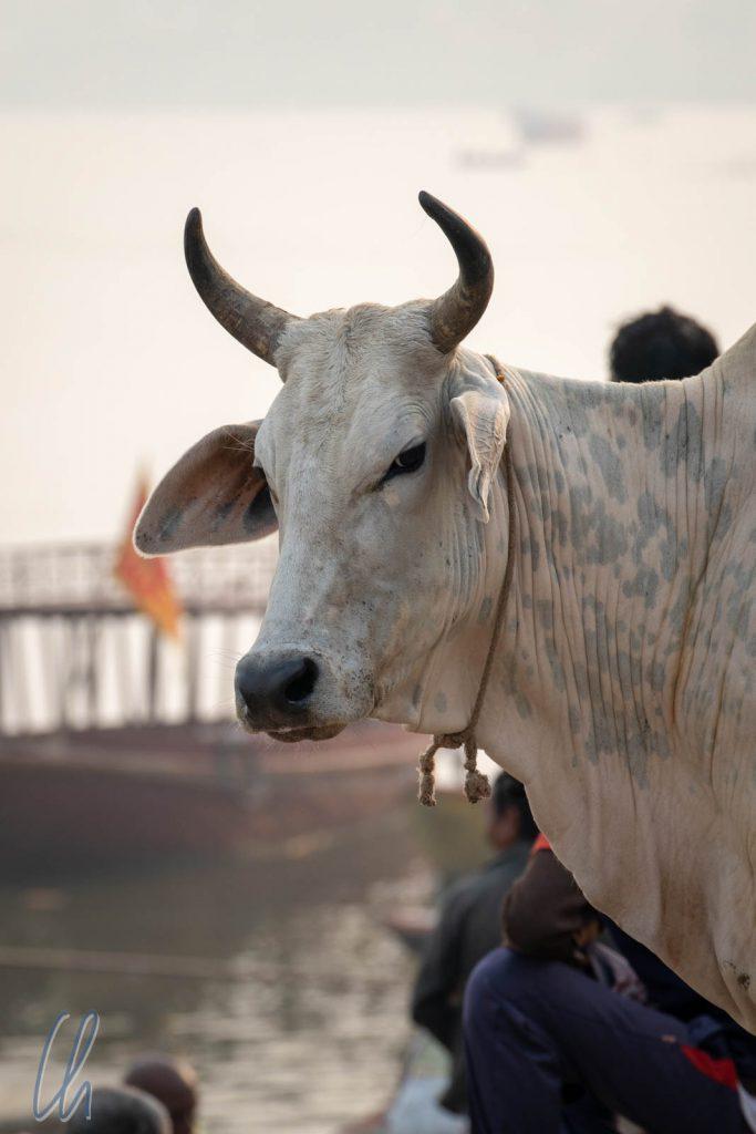 Eine heilige Kuh in Varanasi