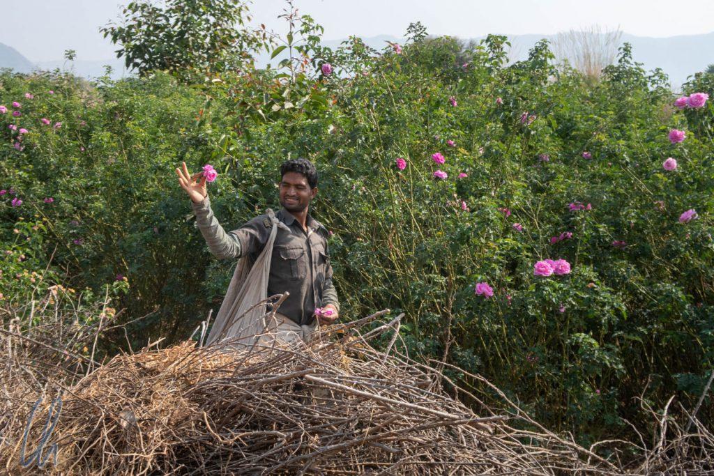 Ein charmanter Bauer bei der Rosenernte, die das ganze Jahr lang stattfinden kann.