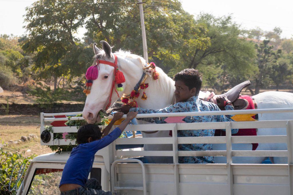 Ein Marwari-Hochzeitspferd