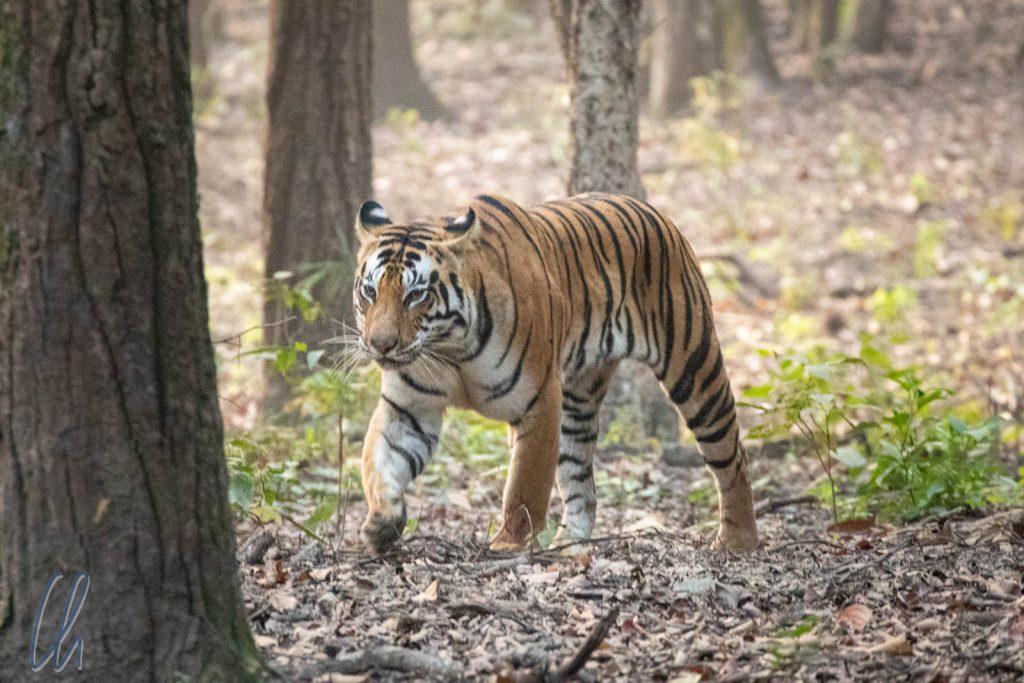 Die Tigerdame Neina streifte durch ihr Revier im Kanha Sektor.