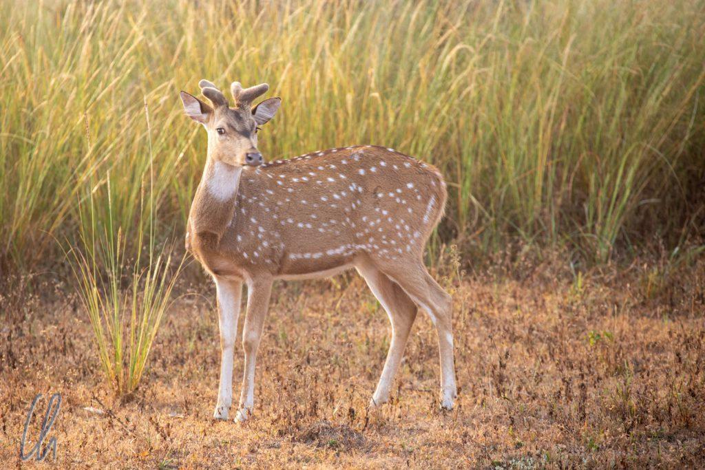Ein Chital (Axishirsch/Spotted Deer) beäugte uns mißtrauisch.