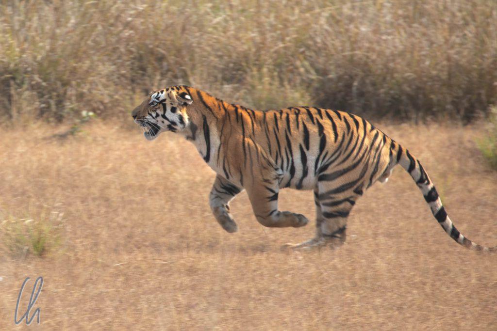 """Tempolimit 20km/h gilt nicht für Tiger: Der """"Micro-Charger"""" täuschte einen Angriff auf einen Jeep an."""