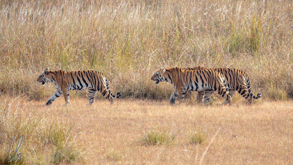 Eine Tiger-Mama gefolgt von zweien ihrer kleinen Tigerchen