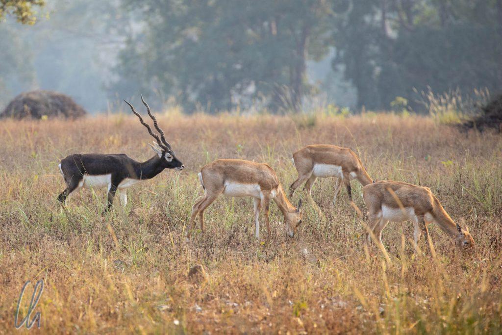 """Hirschziegenantilopen. Der englische Name """"Blackbuck"""" beschreibt die Männchen sehr treffend."""