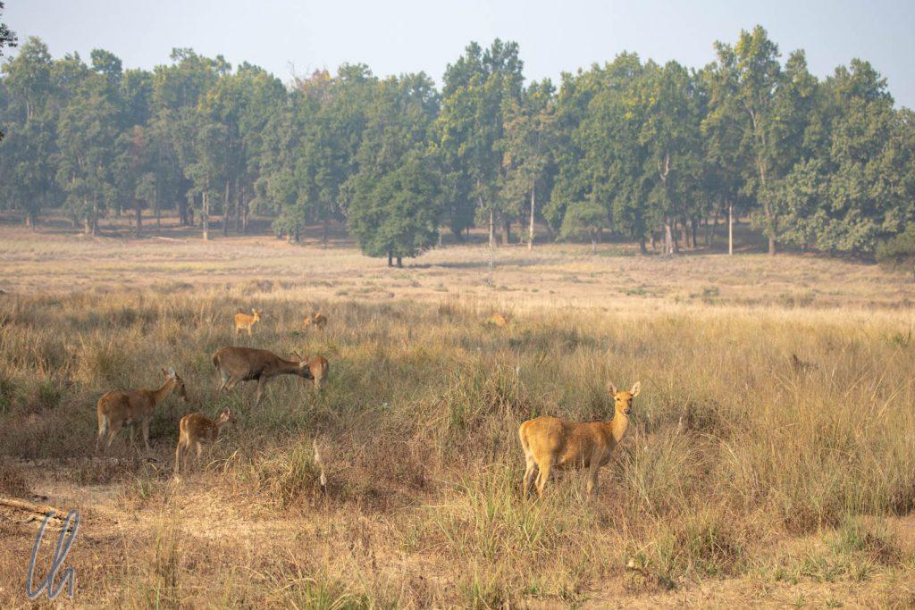 Eine Barasingha-Herde in der Morgensonne